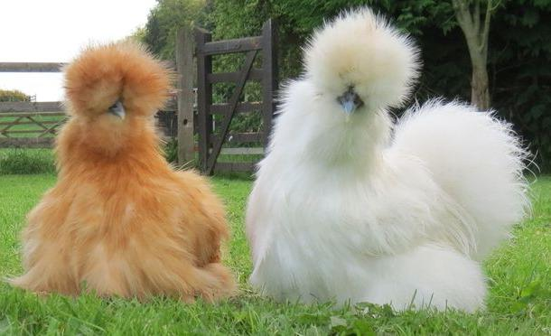 Black fluffy chicken