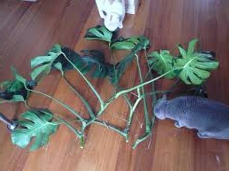 breeding of monstera by air roots