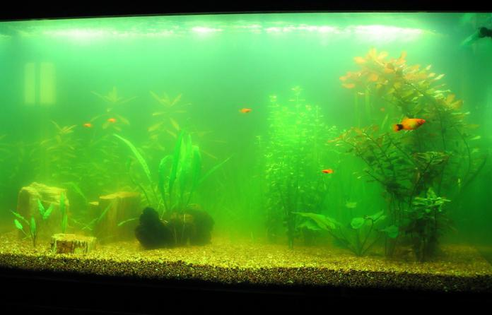 мутная вода в аквариуме что делать