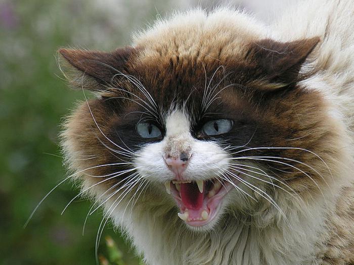 Rabies cat
