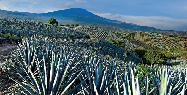 what tequila is made of