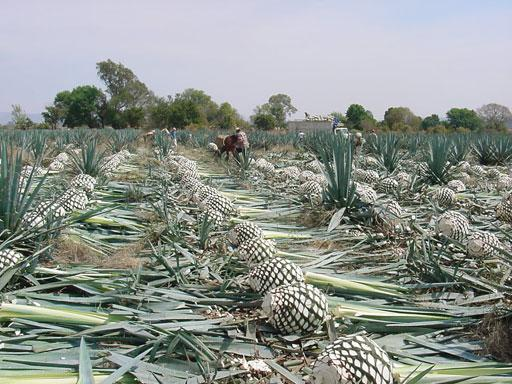 tequila made from cactus
