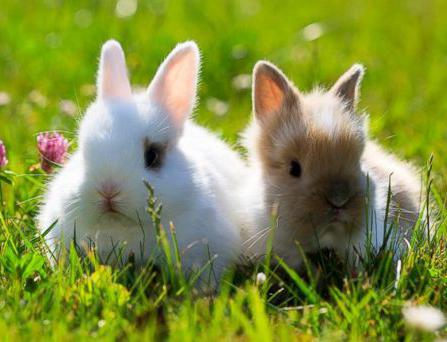 Декоративные кролики: породы, их описание и фото. Домашние карликовые кролики: описание, уход, содержание