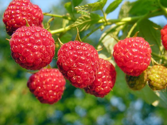raspberry growing