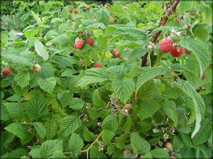 raspberry seedlings