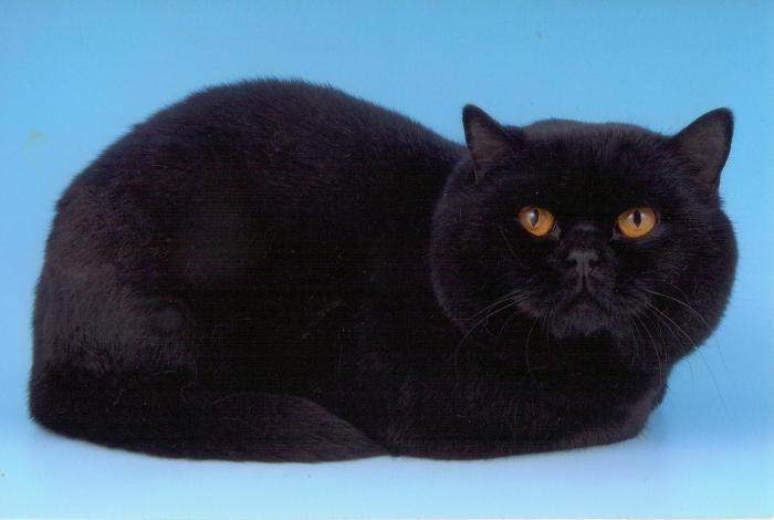 Шотландец кот черный фото