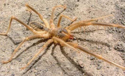 верблюжий паук