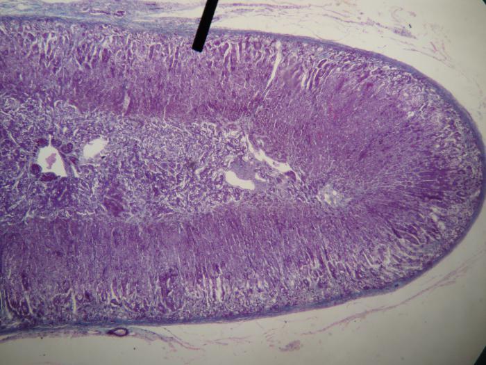adrenal cortex function