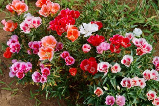 цветы годеция посадка и уход фото