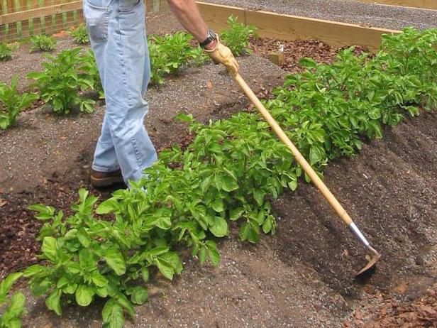 how to plant potatoes to get a good harvest