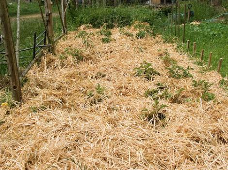 how best to plant potatoes