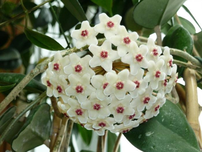 Комнатный цветок невеста