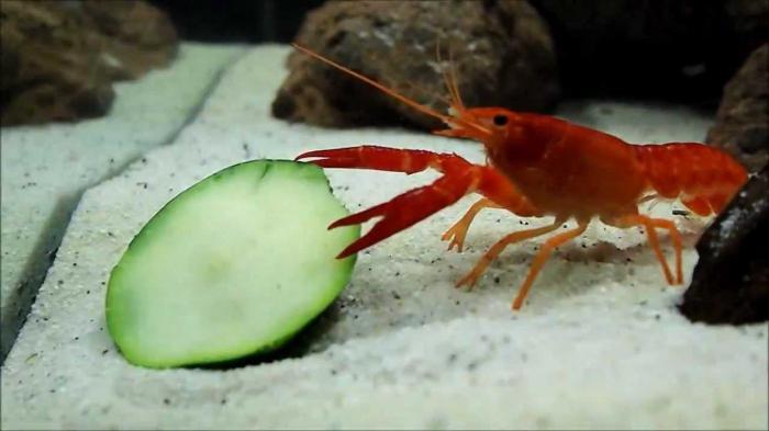 Как кормить раков которые в аквариуме в домашних условиях