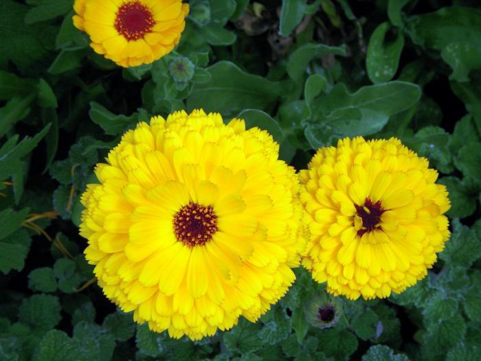 очаровательная страна, желтые садовые цветы картинки тоже