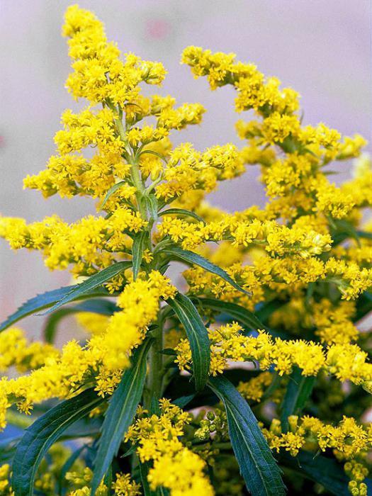 Многолетние высокие желтые цветы