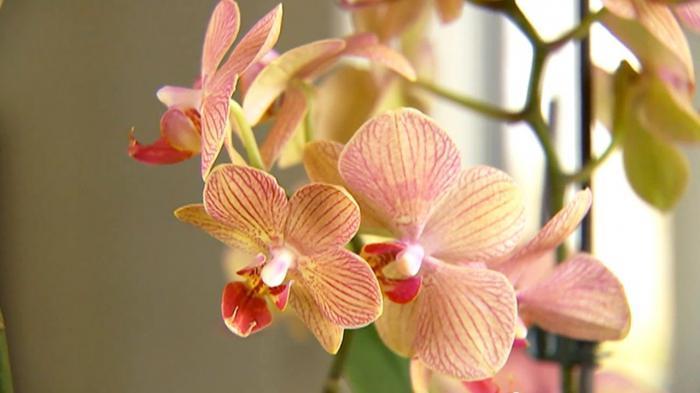 Орхидея разведение и уход в домашних условиях