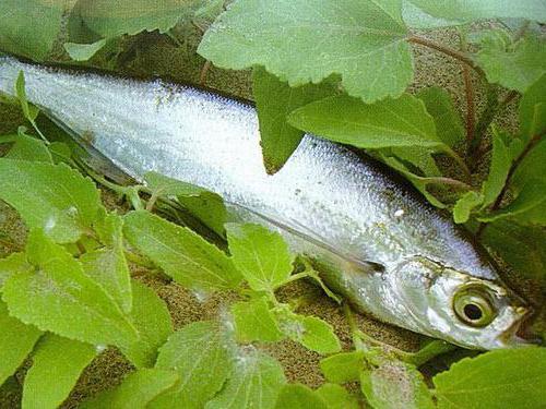 Где водится рыба чехонь? Как приготовить рыбу чехонь?