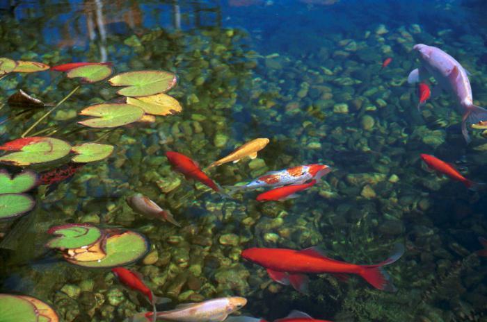 pond: natural habitat for fish