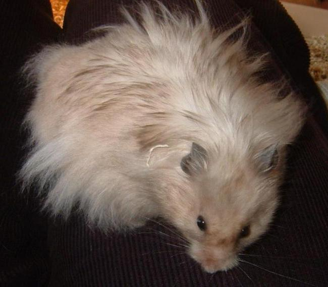 Angora hamster than to feed