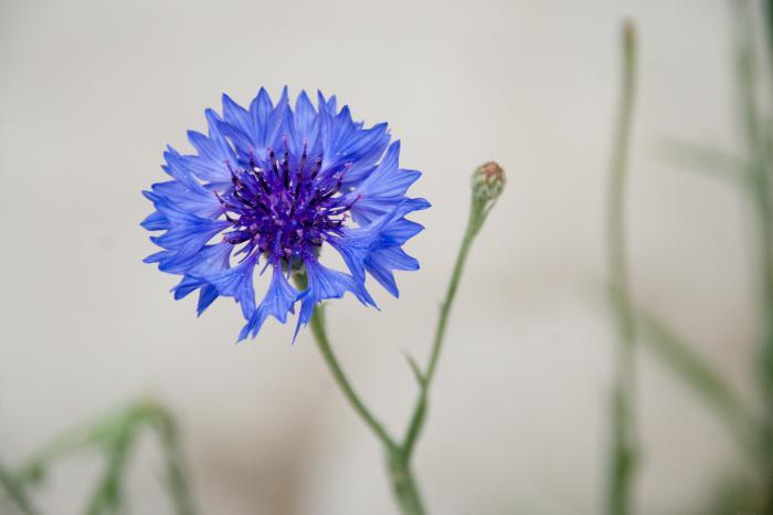 Цветок василек