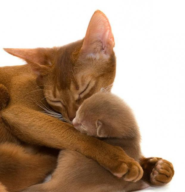 Abyssinian cat breed history