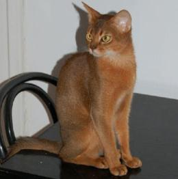 Abyssinian cat breed standards