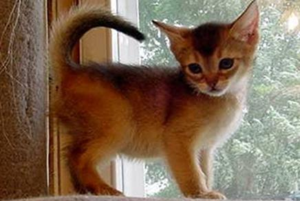 Abyssinian cat breed features