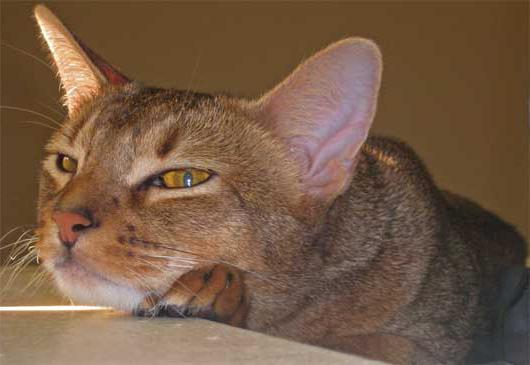 cats abyssinian breed reviews
