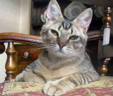 cats of abyssinian breed photo