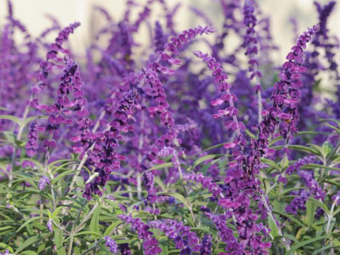 Многолетние цветы как их выращивать 45