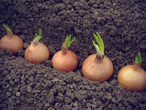 Выращивание лука из головок 85