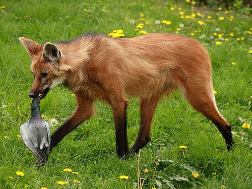 maned wolf interesting facts