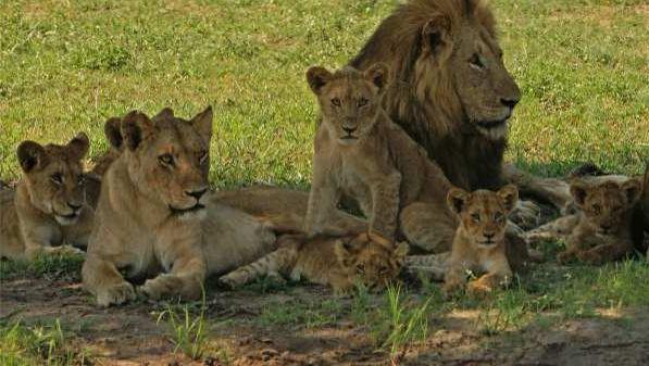 Лев: фото льва в природе Африки
