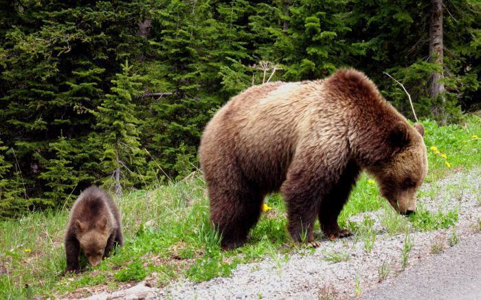 сон медведь с медвежонком