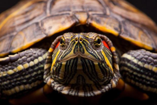 Что символизирует черепаха в жизни человека и для чего она нужна в доме