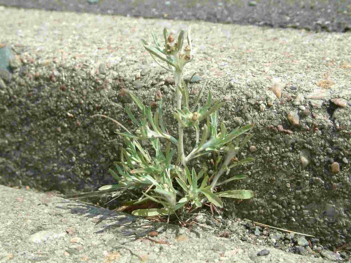 Grass cogweed