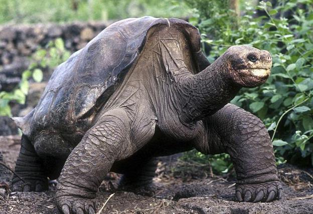 черепаха символ чего по фен шуй