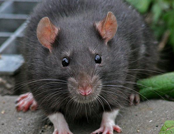 Курские многоэтажки атакуют крысы