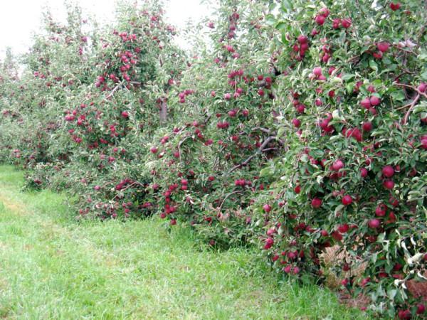 медуница зимняя яблоня описание фото отзывы