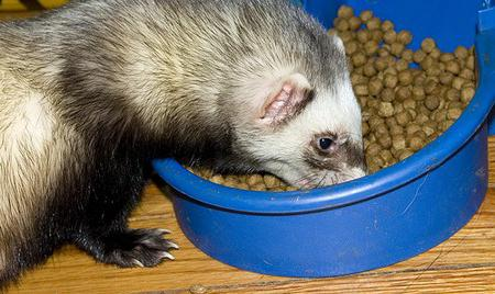 чем кормить хорька в домашних условиях