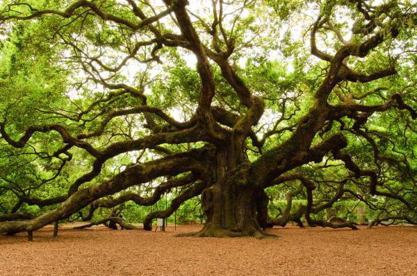 Дерево рака по гороскопу — Медицина мира