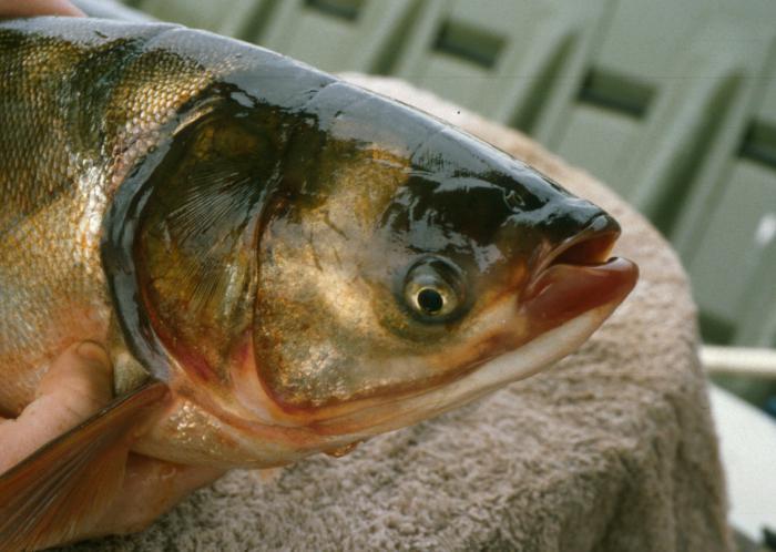 рыба толстолобик калорийность жареной