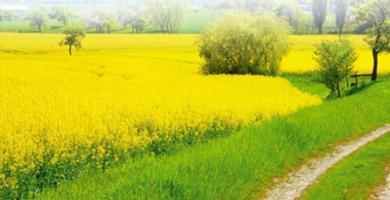 camelina oil benefit and harm