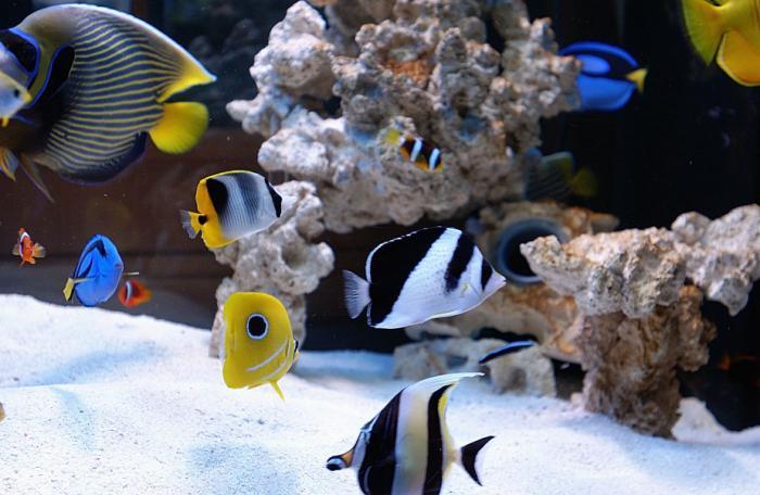 рыба бабочка аквариумная