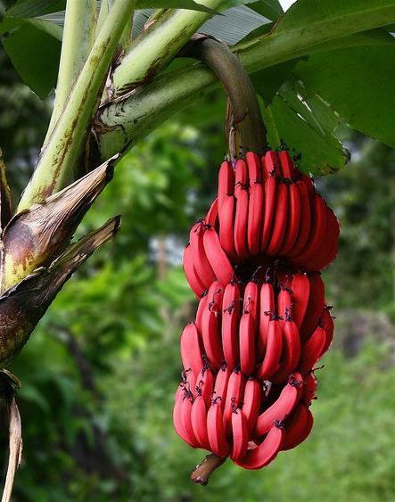 бывают красные бананы
