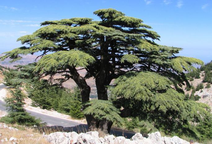 Cedar bump