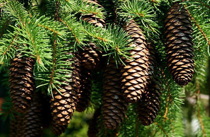 What does a cedar bump look like?