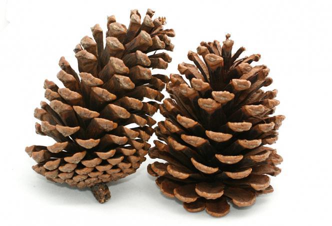 Cedar cone: photo