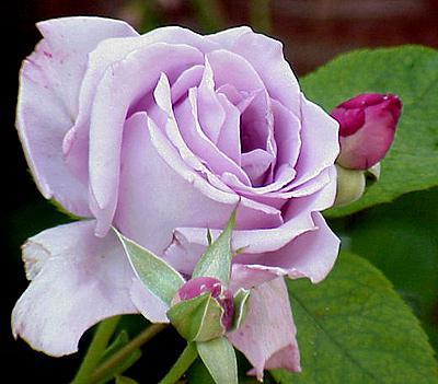 Сорт розы бабкина