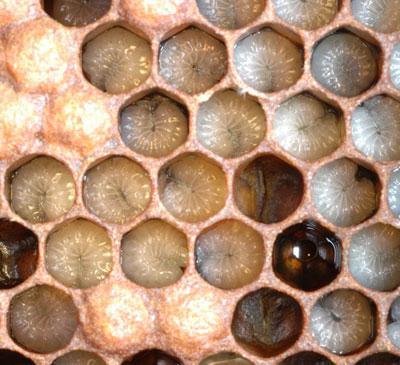 расплодный гомогенат пчелиный отзывы для женщин